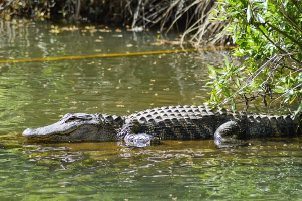 alligator on river