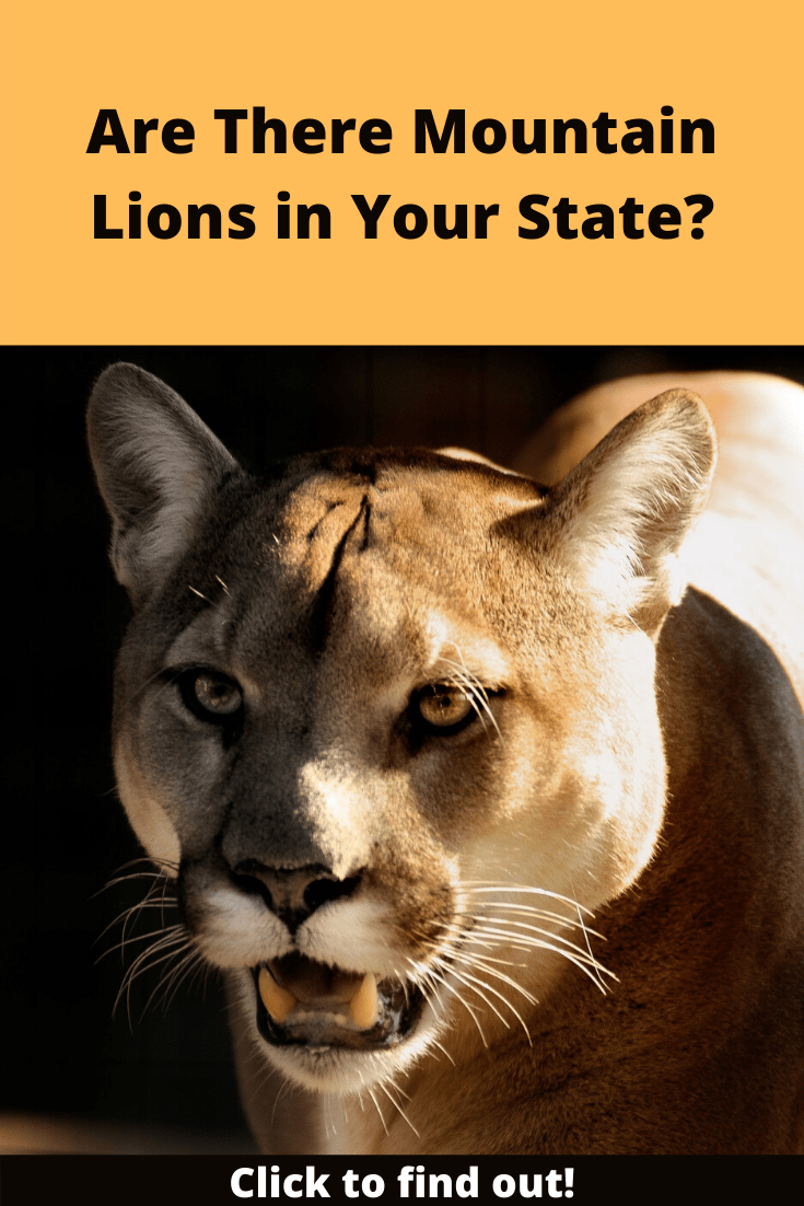 Are There Mountain Lions in Your State pin2